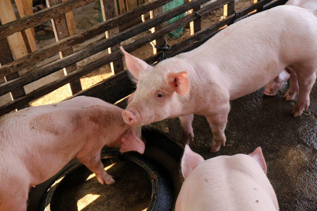 Техника и условия разведения свиней