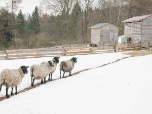 Характеристика овец Романовской породы