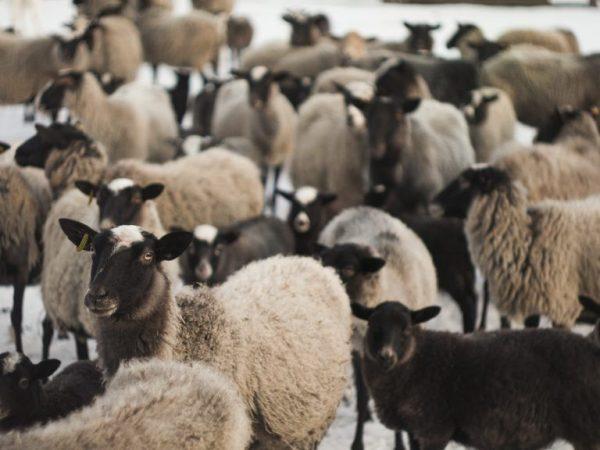 Содержание овец Романовской породы