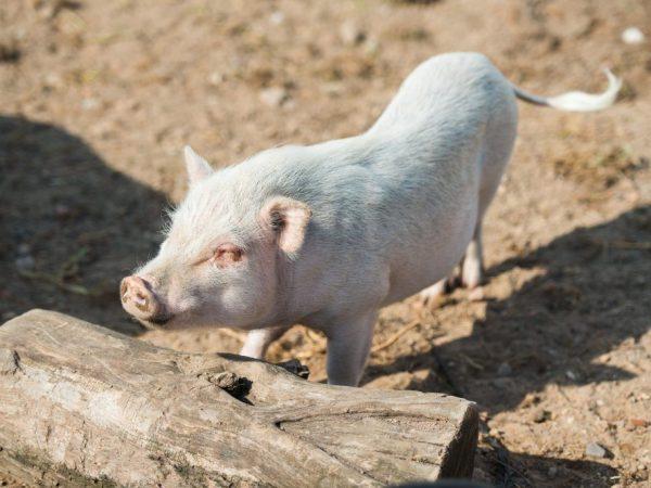 Знаю. рожа у свиней: симптомы и лечение с фото чувак