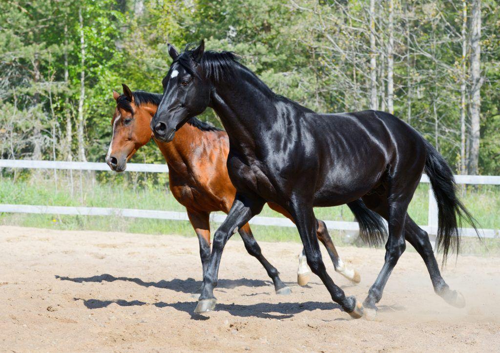 Характеристика лошадей породы Русская верховая