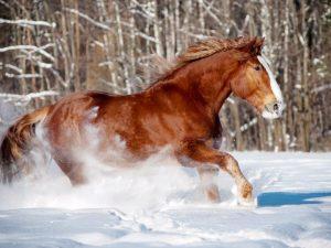Лошадь породы Русский тяжеловоз