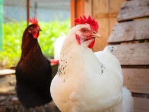 Описание крупных пород кур