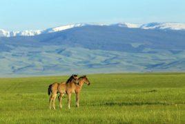 Характеристика лошадей скалистых гор