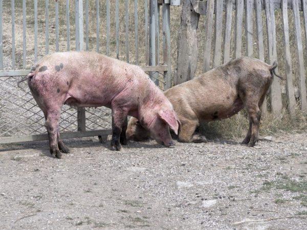 Сколько дней гуляет свинья