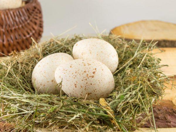 Особенности яйценоскости индейки