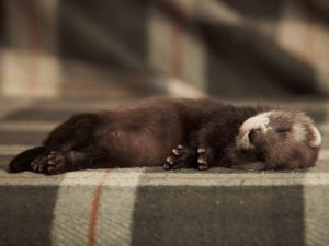 Сколько спят хорьки