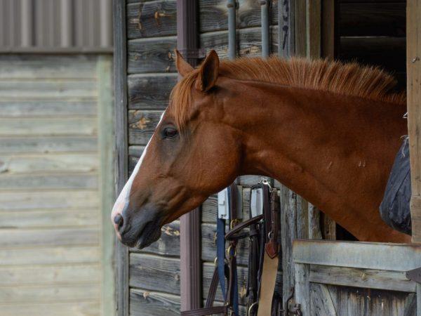 Домашние условия обитания благоприятно влияют на продолжительность жизни лошади