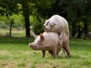 Случка свиней и охота