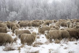 Уход за овцами зимой