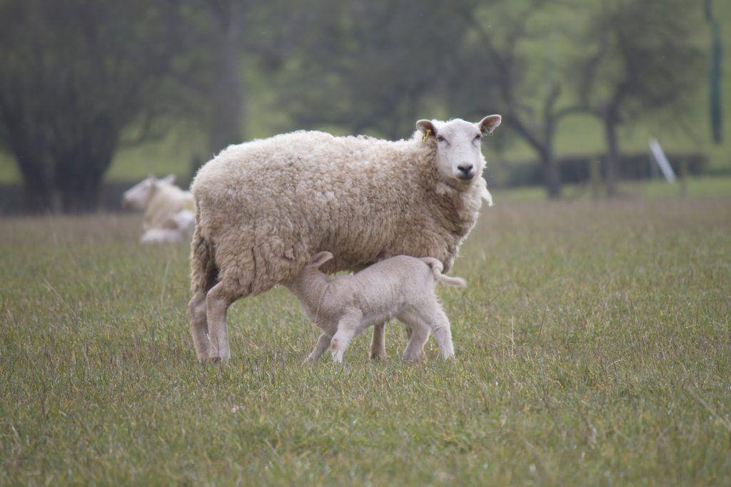 Кормящая овца нуждается в особом уходе