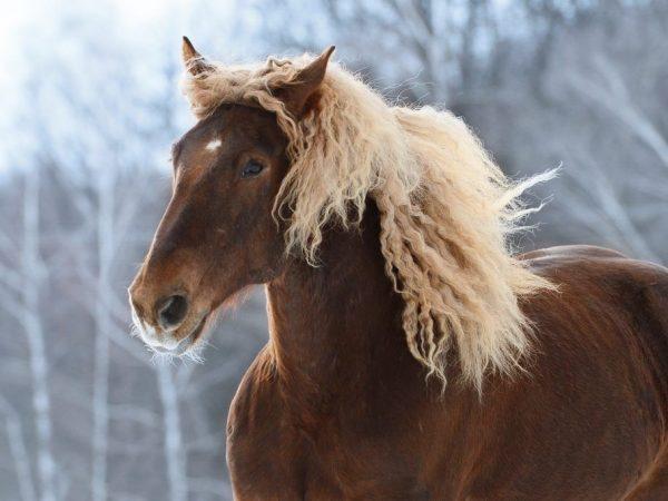 Характеристика лошадей породы Советский Тяжеловоз