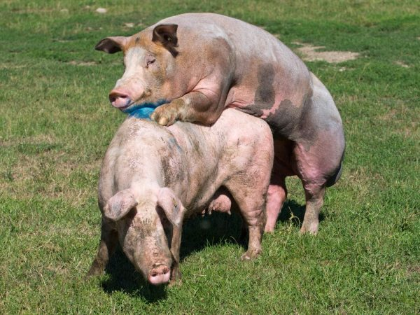 Процесс спаривания свиней
