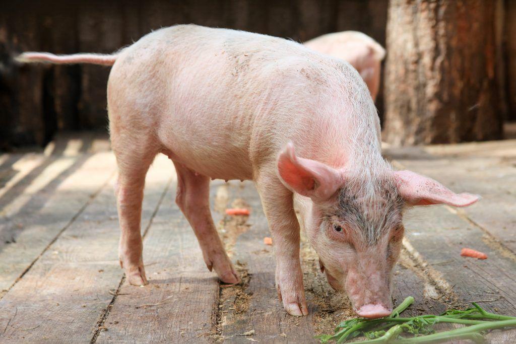 азобактерин для свиней цена