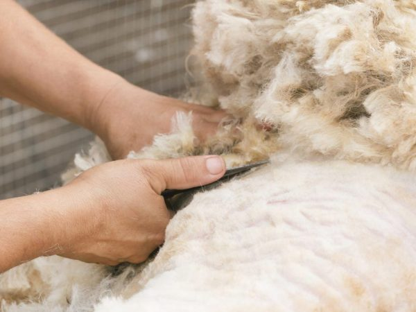 Стрижка овец и баранов