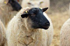 Характеристика овец породы Суффолк