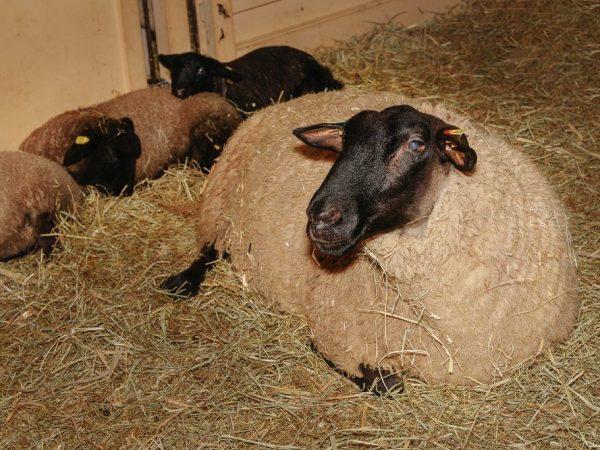Разведение овец породы Суффолк является выгодным делом