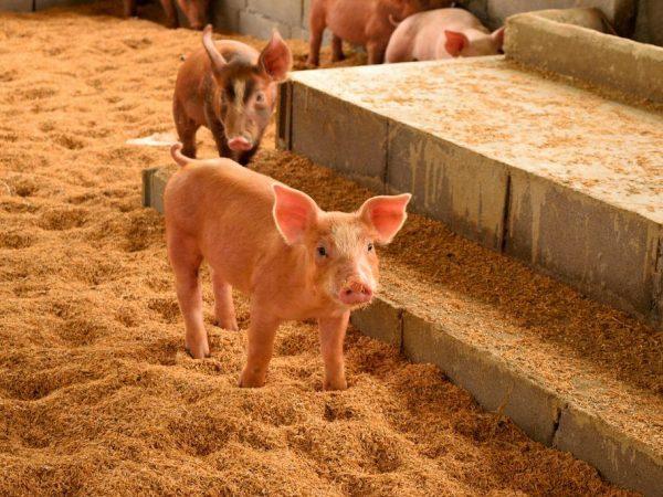Положительная сторона выращивания свиней