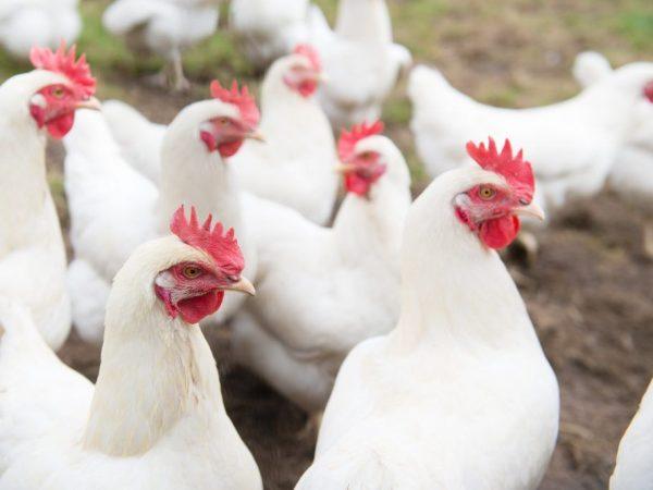 Курица породы Тетра