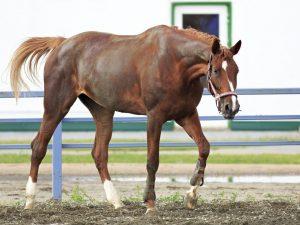 Характеристика Тракененской породы лошадей