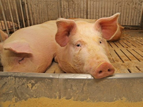 Трихинеллез свиней