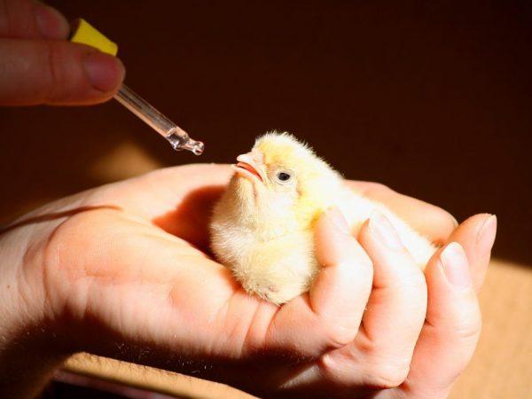 Профилактика и лечение цыплят