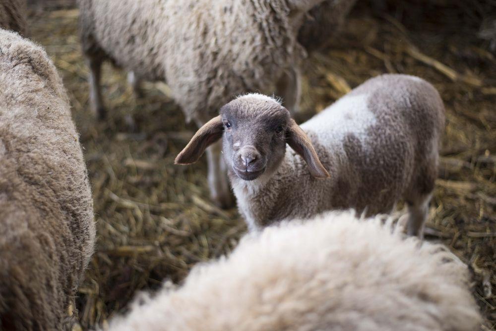 Мясные породы овец: разведение овец на мясо