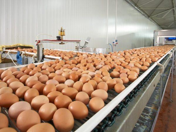 Увеличение яйценоскости фермерских индюшек