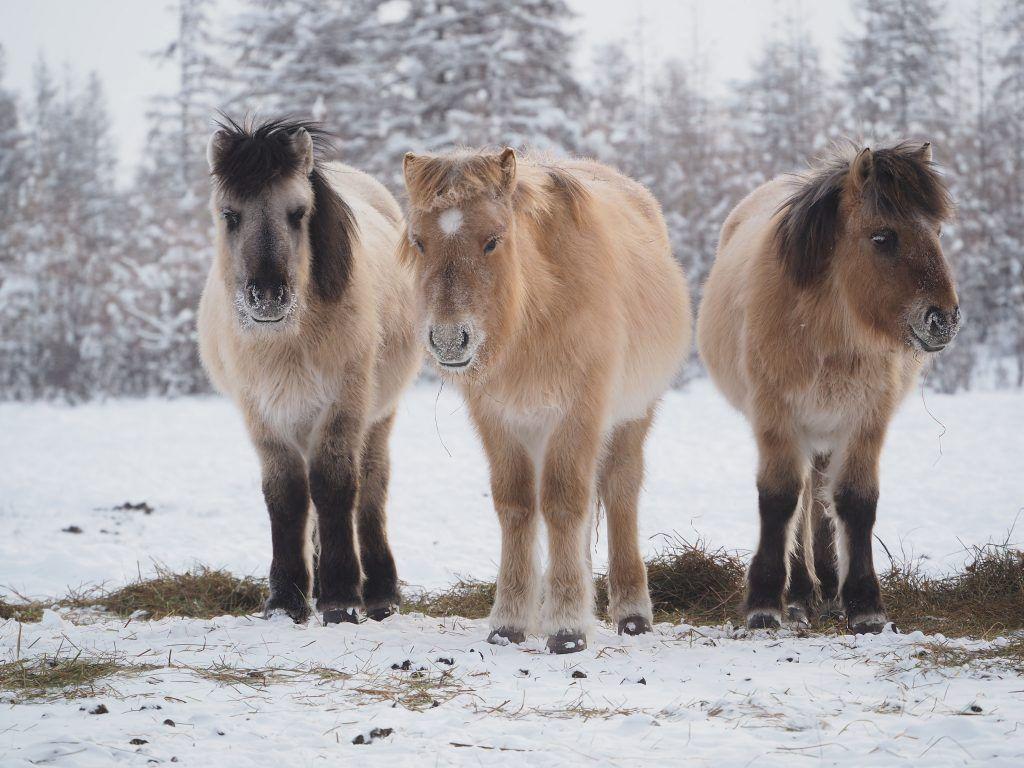 Якутская лошадь: фото, описание, характеристика
