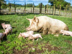 Язва у свиней