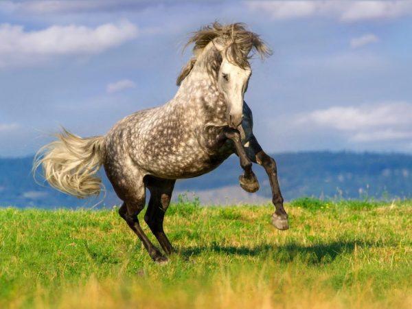 Андалузские лошади хорошие верховые скакуны