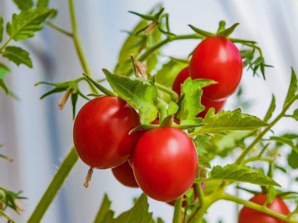 Подкормка рассады помидоров дрожжами