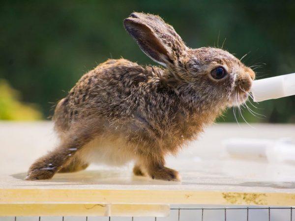 Проведение вакцинации для кроликов