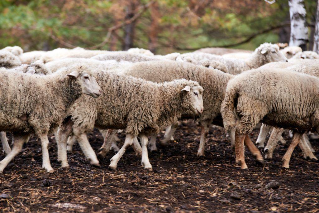 Овцеводство в домашних условиях: описание