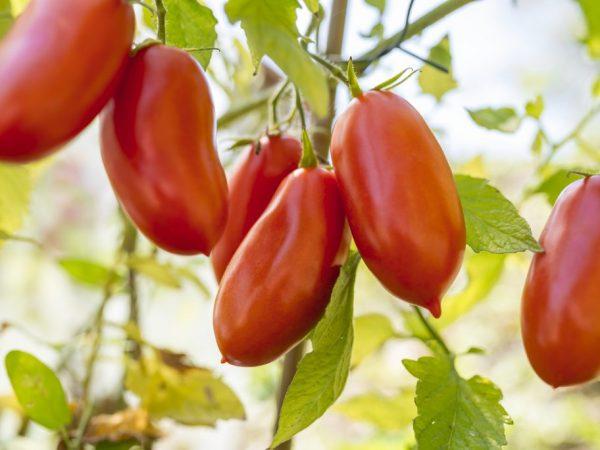 Плоды томата могут долго храниться