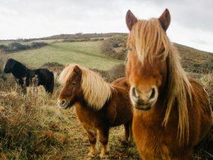 Какие существуют породы пони