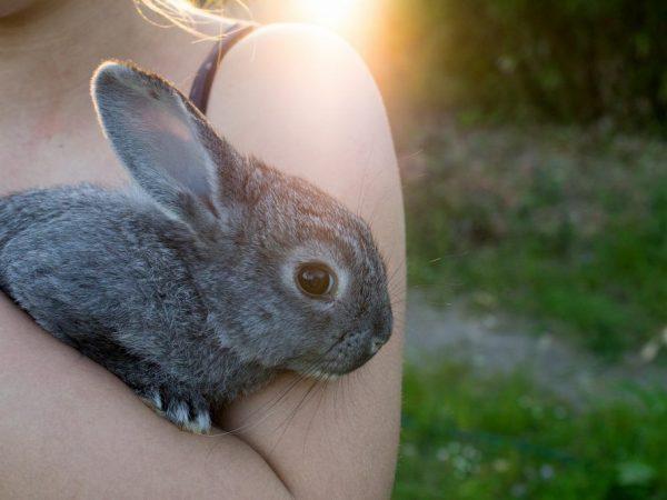 Как ухаживать за кроликом Шиншиллой