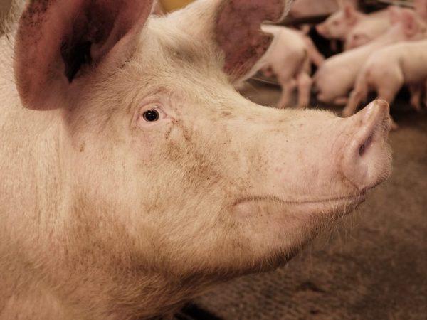 Содержание и уход за свиноматкой