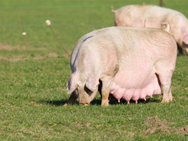 Большое количество поросят у свиноматки