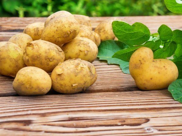 Сорта белорусского картофеля