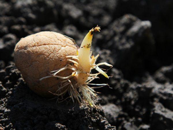 Картофель сорт джелли