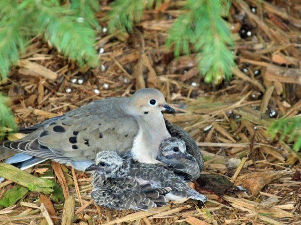 Птицы прячут своих детёнышей до самого взросления