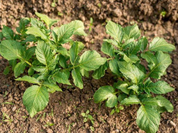 Гербициды могут уничтожить и картофель