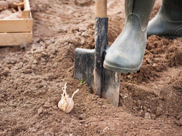 Допустимая глубина для посадки картофеля