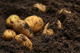 Характеристика картофеля сорта Импала