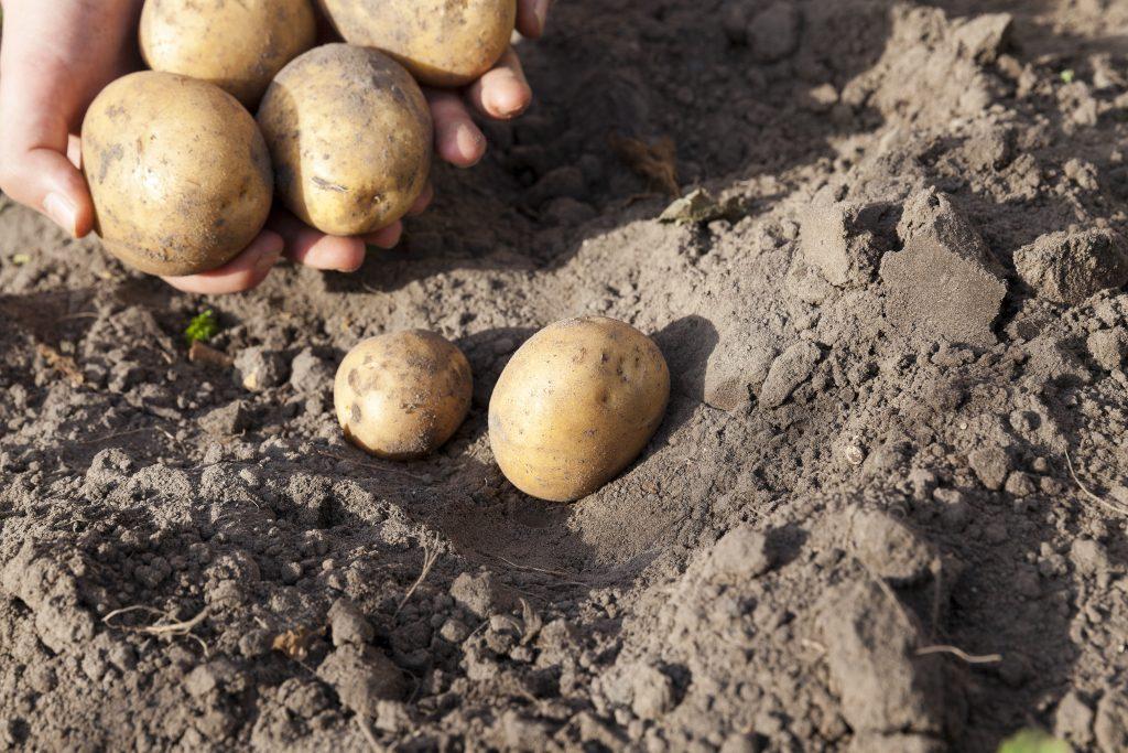 Картофель Каратоп (ранний): описание сорта, фото, характеристика, отзывы
