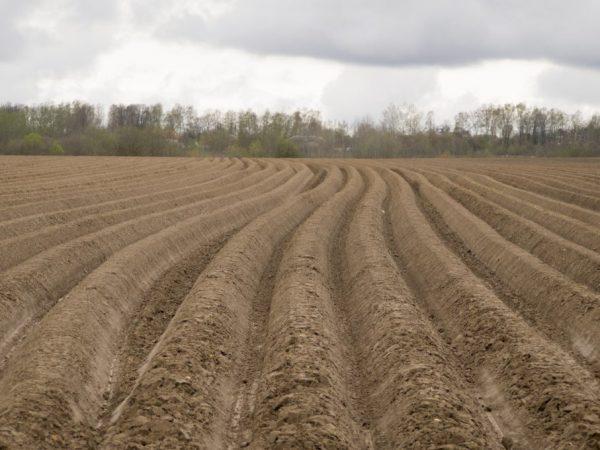 Почву необходимо готовить к посадке с осени