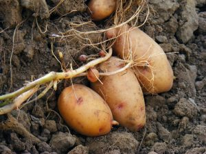 Картофель сорта лапоть