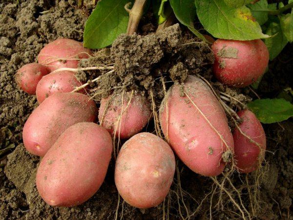 Описание картофеля Манифест