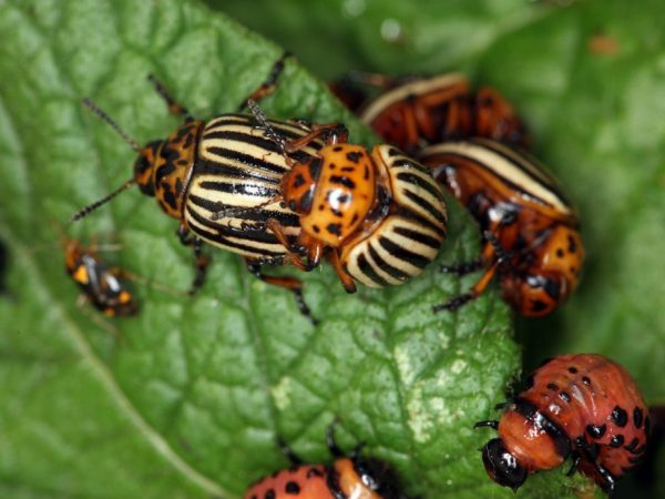 Избавиться от насекомых можно за сутки